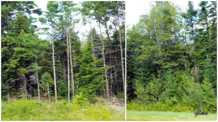 Maine - pinheiros