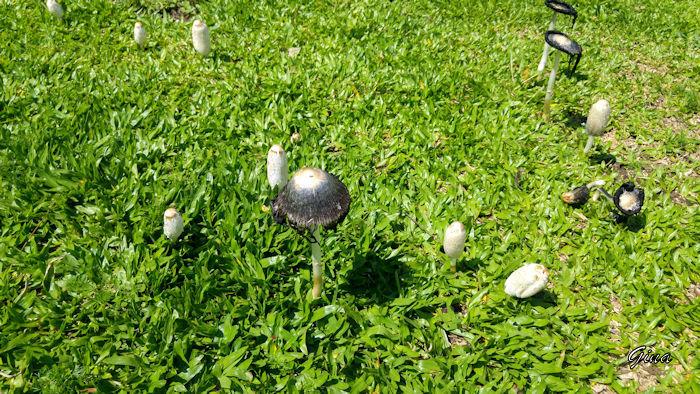 Cogumelo tampa-de-tinta (Coprinus comatus)