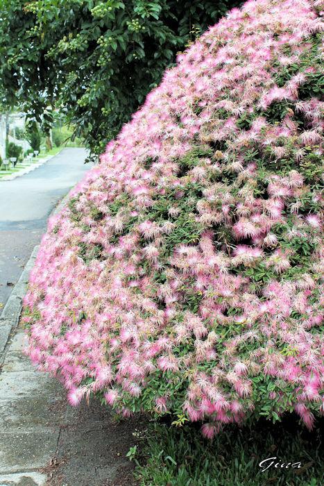 Esponjinha (Calliandra brevipes)