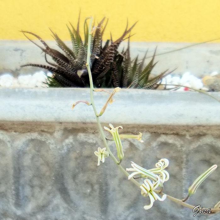 Planta-zebra (Haworthia fasciata)