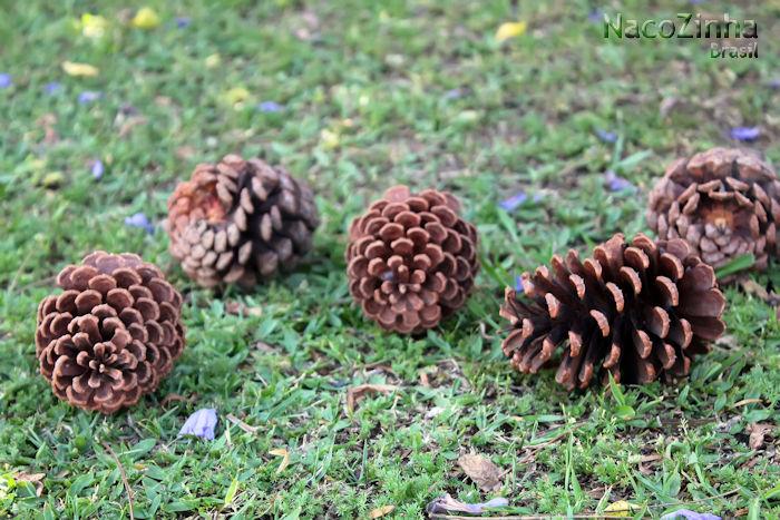 Pinhas do gênero Pinus