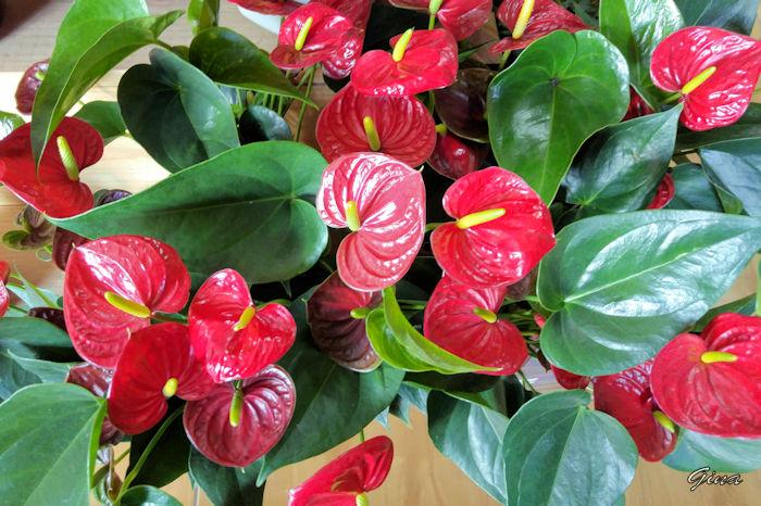 Antúrio (Anthurium andraeanum)