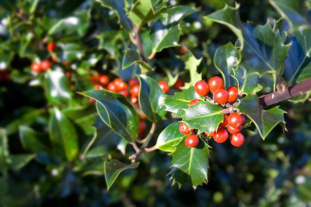 Azevinho (Ilex aquifolium)