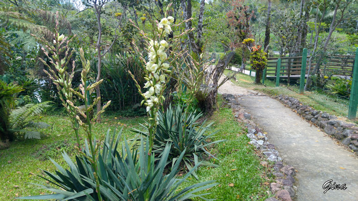 Iuca (Yucca filamentosa)