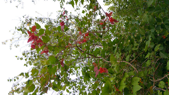 Cranberries ácidas (Vaccinium macrocarpon)